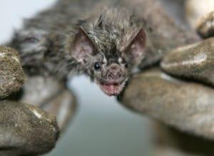 Tanto os morcegos que se alimentam de sangue quanto os que comem frutas podem transmitir a raiva