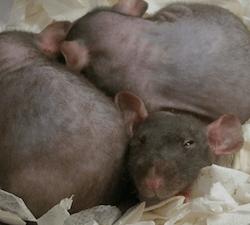Desratização: Como Acabar com Ratos