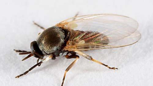 Moscas Chrysomya