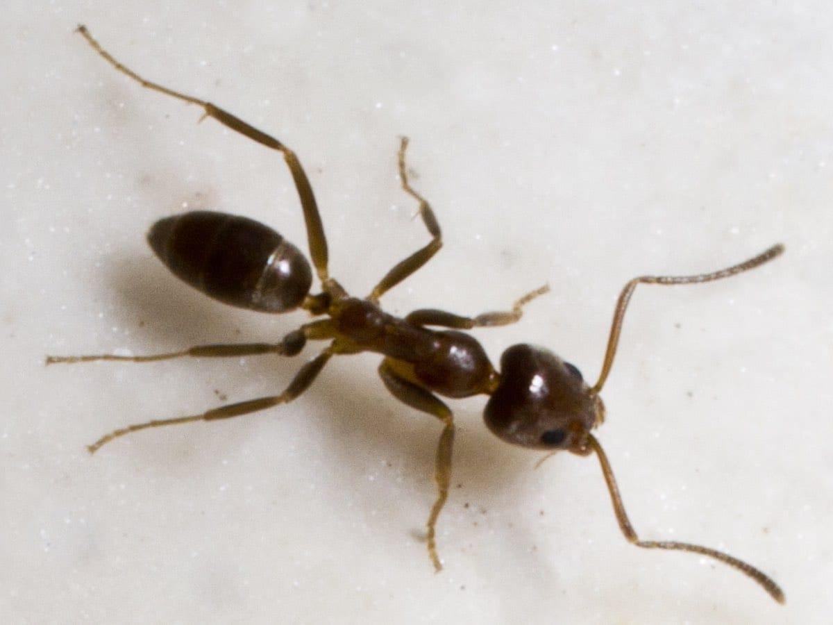 Formiga-argentina
