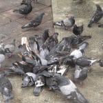 como eliminar pombos urbanos