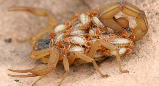 escorpiões controle