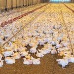 controle pragas granjas de frangos e suinos