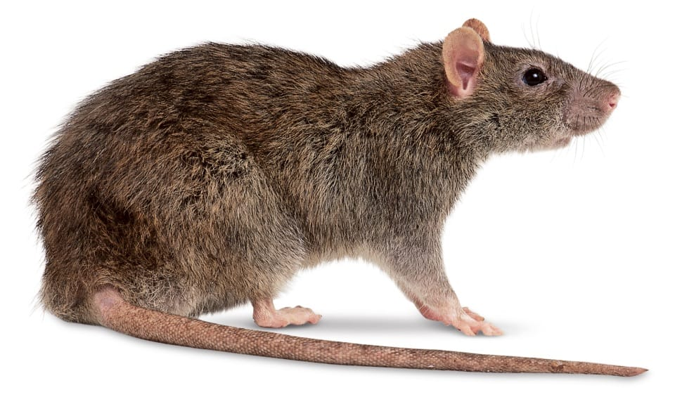 ratazana rato diferença