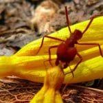 espécies de formigas cortadeiras conhecidas como saúva
