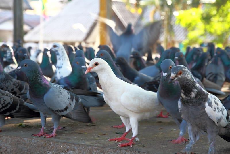 Como Eliminar e Controlar a Infestação de Pombos