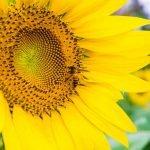 60% plantas cultivadas ou silvestres utilizadas para a produção de alimentos no Brasil dependem de polinizadores, como as abelhas, para se reproduzir. Entre esses cultivos estão alguns de grande importância para a agricultura brasileira, como a soja, o café, o feijão e a laranja