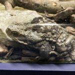 Sapo-cururu É Predador Natural do Escorpião Amarelo
